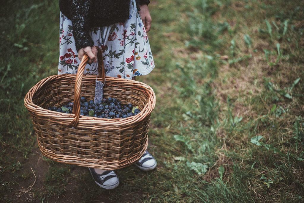 U-Pick Blueberry Picking Tips